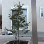 花壇にはソヨゴの株立ちを植えました。