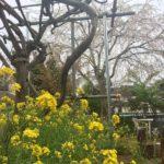 お庭の枝垂れ桜と菜の花